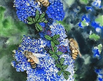 Honey bees and brilliant blue Ceanothus flowers