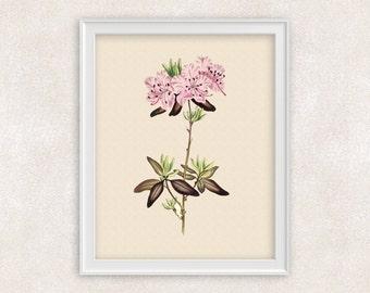 Rhododendron Botanical Art Print - 8x10 Pink Flower Print - Garden Prints - Illustration - Poster - Victorian Art - Item #161