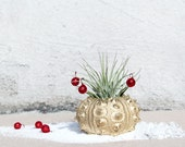 festive holiday air plant // golden ruby // robincharlotte christmas