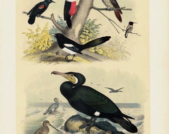 1881 Antique BIRD print, Birds of NORTH AMERICA, songbirds of field and sea birds beach, magpie, cormorant,  131 years old large print.