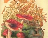 Vintage Botanical Print Red Toadstools fungus mushrooms ferns kitchen Edwardian original decor wall art print bookplate