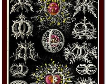 Vintage Print  Natural History  Art Print: Ernst Haeckel  Scientific Illustration Art Print