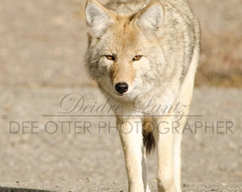 SALE Yellowstone coyote aluminium print 11x14in
