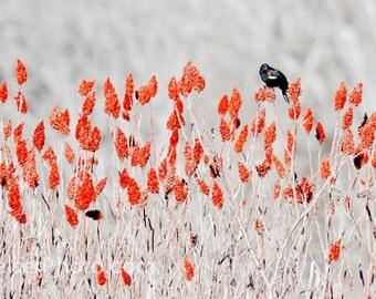 Blackbird Art Red-winged Blackbird on Sumac Color Fine Art Panorama Photograph