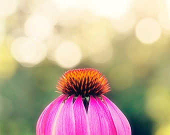 flower photography, nature photograph, pink home decor, pink wall art, coneflower photography, flower fine art, Sunlit Coneflower