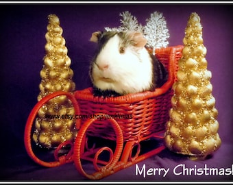"""Purple & Red Trendy GUINEA PIG CHRISTMAS Print - Limited edition 8x10"""" Photograph"""