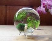 Zen. Micro. Orb. Marimo Ball. Ecosphere.Terrarium