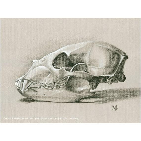 Bear Skull Drawing Black Bear Skull charc...
