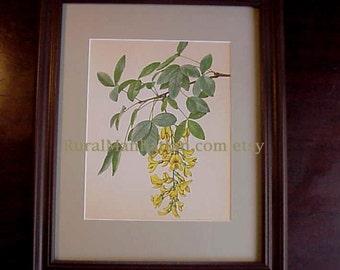 60s Botanical Plate Common Laburnum Golden  Rain Tree or Laburnum Anagyroides Spring Flowers Leaves Leaf Print Framed Art  Flowering Branch
