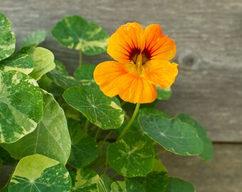 Nasturtium Mix - Jewel Toned Edible Flower Seeds