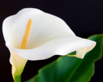Calla Lily Photograph Floral Photography Extra Large to Small Sizes 5x7, 8x10, 20x24
