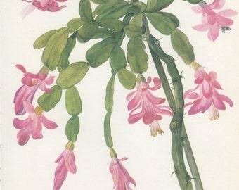 Christmas Cactus, 8 x 10, Vintage Botanical Print, Zygocactus, Home Decor, Indoor Plant 131, Flower Art, Illustration 1968