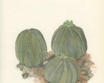 Sea Urchin Cactus, Baseball Cactus, Vintage Print, 8 x 10, Botanical Cacti Plant (115) Natural History, Art, 1971, Kaplicka