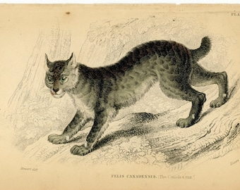 1840 CANADIAN LYNX original antique wild cat safari animal print