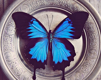 Blue Butterfly ~ 8x10 print