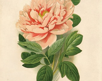 Vintage Flower Botanical Print. Pink Tree Peony Educational Science Plate Flower Garden Seed Packet Chart Diagram - CP205