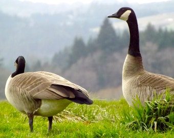 Pair of Canadian Geese