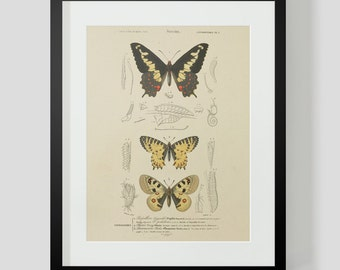 Vintage Insect Butterfly Entomology Plate 1