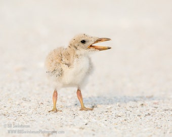 Baby Bird Photograph - Skimmer Chick Three