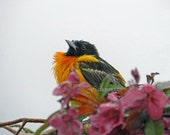 Baltimore Oriole Perched in Crab Apple Tree Wall Art Home Decor Fine Art Photography
