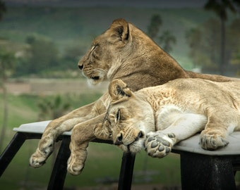 Sleeping Lions at the San Diego Zoo Safari Park in California No. 0664 - A Wildlife Animal Photograph