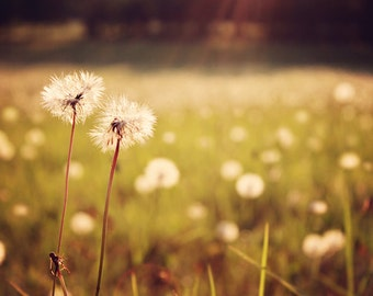 Nature Photography - Dandelions - Wishes - Nostalgia - Dreamy - Sunflare
