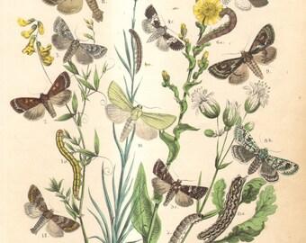 1863 Antique Engraving of Owlet Moths, Broom Moth, Bright-line Brown-eye Moth, White Spot, Small Ranunculus, Grey Chi,   Merveille-du-Jour