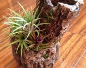 Reserved Listing for Winnie:  Air Plant on Cork Bark