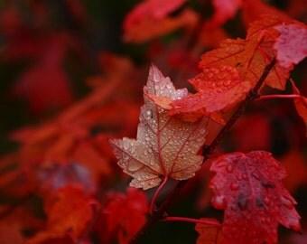 Autumn Photography,fall leaves,seasons,home decor,claret,crimson leaves,brilliant autumn foliage,jewel tones,stunning garnet,ruby red,merlot