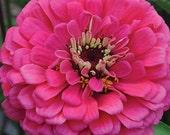SALE Zinnia Giant Dahlia Flowered Pink Cottage Garden Cutting Garden Zinnia Seeds