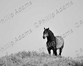 """Mesteño 3 - Mustang Stallion - 8.5"""" x 11"""""""