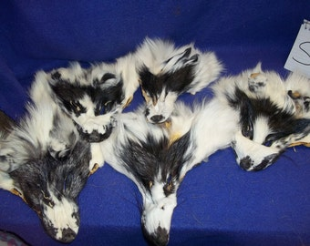 1 real animal fur Tanned Blue marble fox face head taxidermy skin pelt hide part