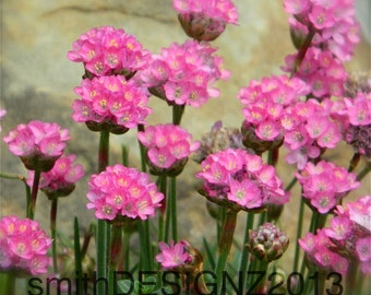Pink Flowers, Photography, Flower Photography, Nature Print, Home Decor, Vinyl Wall Decal, by Abby Smith, FREE SHIPPING