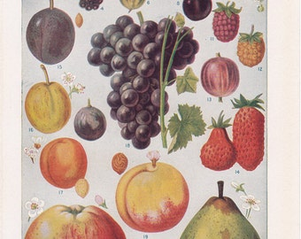 Vintage Fruit Illustration, a page  from a  1942 American Encyclopedia.
