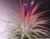 """Airplant/Tillandsia ionantha """"Guatemalan""""- The most popular airplant"""