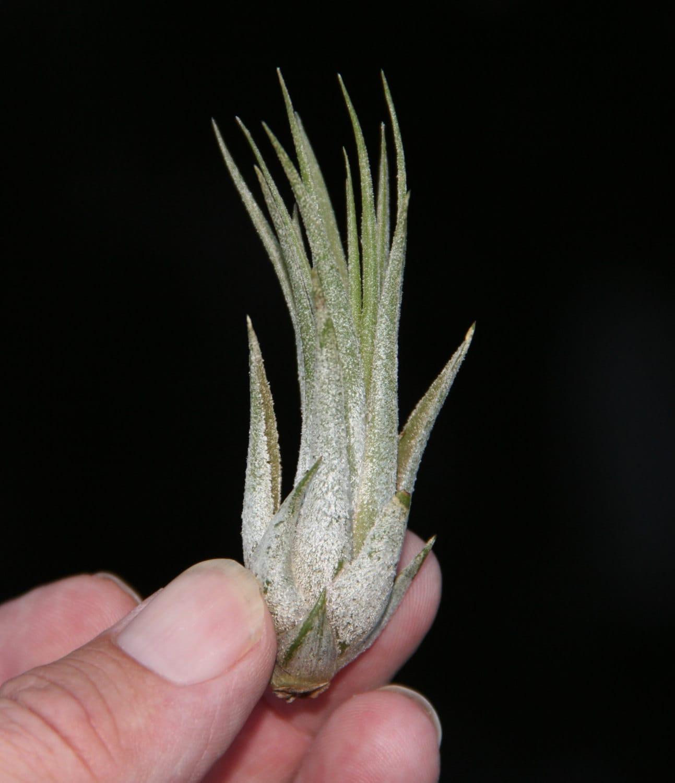 Tillandsia kolbii small plants very easy to grow for Small easy to grow plants