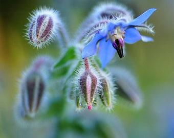 Heirloom 50 Fresh Seeds Borage Borago officinalis Flowering Herb Blue Flower Fresh Bulk B0112