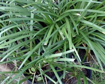Liriope Monkey grass plant for, fairy garden,garden,boarder,
