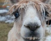 Fine Art Print: An Alpaca Story.  Winter photography from the farm