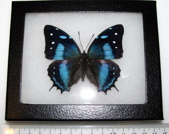 Real framed butterfly blue peruvian baeotus