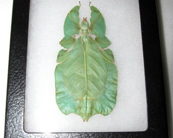 Real blue green indonesian phyllium leaf mimic framed insect