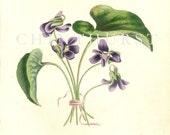 Louisa Anne Twamley. Antique botanical print. 1836.
