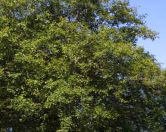 50 Red Alder Tree Seeds, Alnus rubra