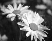Daisy photo, black and white flower, flower photo, photo of daisy, 8x8, 12x12