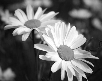 Daisy photo, black and white flower, flower photo, photo of daisy, 8x8, 12x12