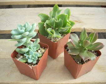 12 Succulent Plants Chunky Collection 3 Inch Pots