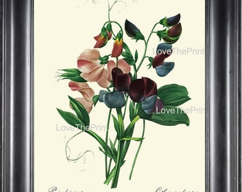 BOTANICAL PRINT Redoute Flower  Botanical Art Print 54 Sweet Pea Pink Blue Purple Plant Garden Nature to Frame