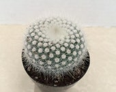 Cactus Plant Silver Ball Cactus globular cactus covered with silvery soft white radials produces yellow flowers Great in cactus garden