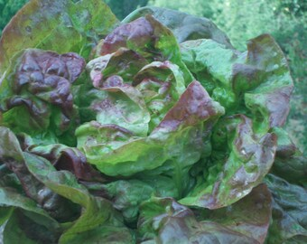 Spring Sale Red Buttercrunch lettuce seeds lettuce seeds heirloom seeds organic seeds indoor garden hydroponic garden seeds organic greens