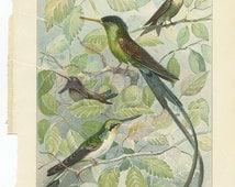 """Vintage Botanical Color Plate """"Hummingbirds"""" DAMAGED"""